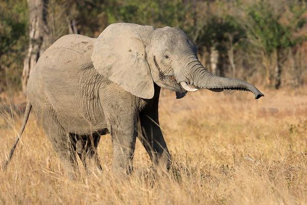 Elephant Mashatu Botswana 2017