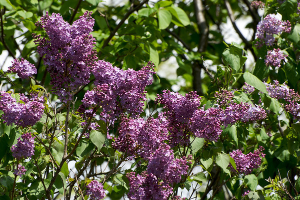 05-04-10 Lilac / Lilas