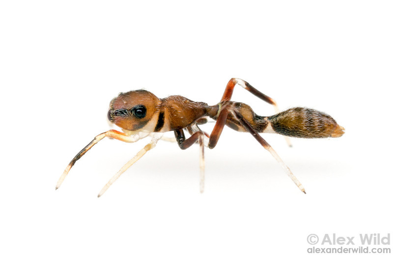 This Synemosyna jumping spider is a convincing mimic of Pseudomyrmex twig ants. I thought this individual was an ant until it jumped and recovered with a silk dragline.  Armenia, Belize