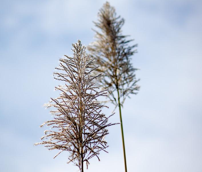 sugar cane plume grass