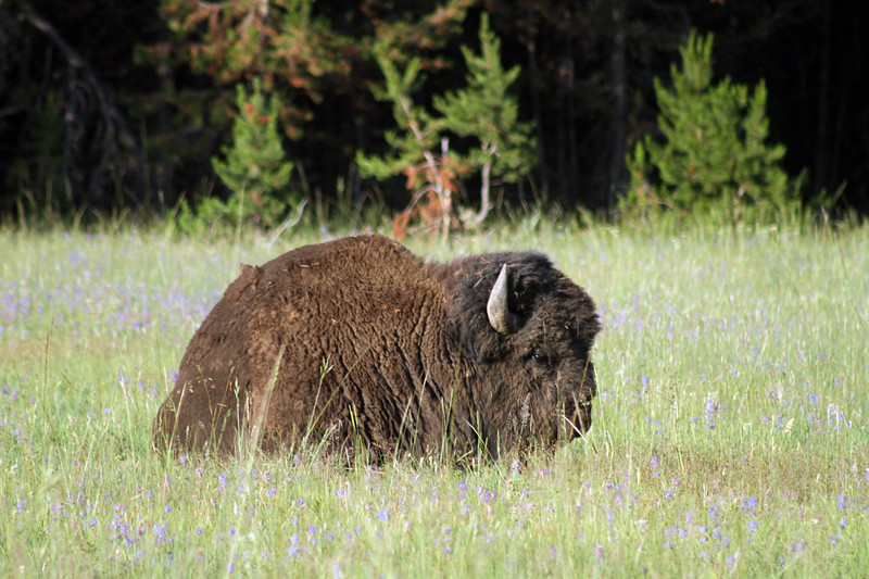 Bison sitting in field