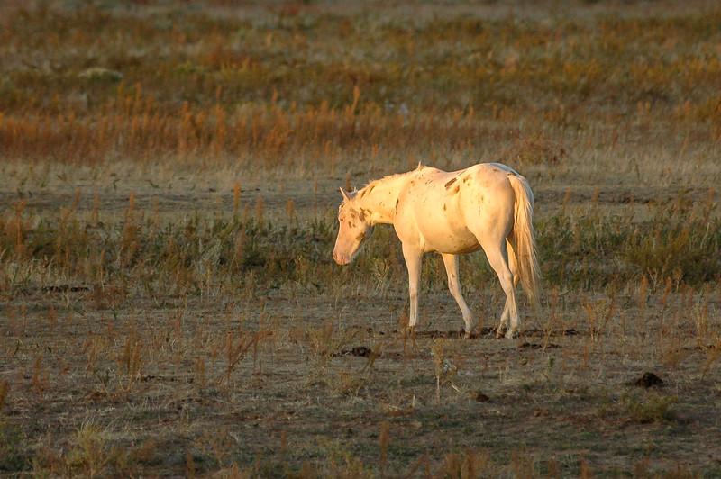 White  Wild Horse Walking