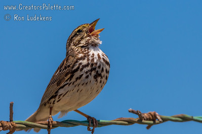 Belding's Savannah Sparrow (Passerculus sandwichensis beldingii)