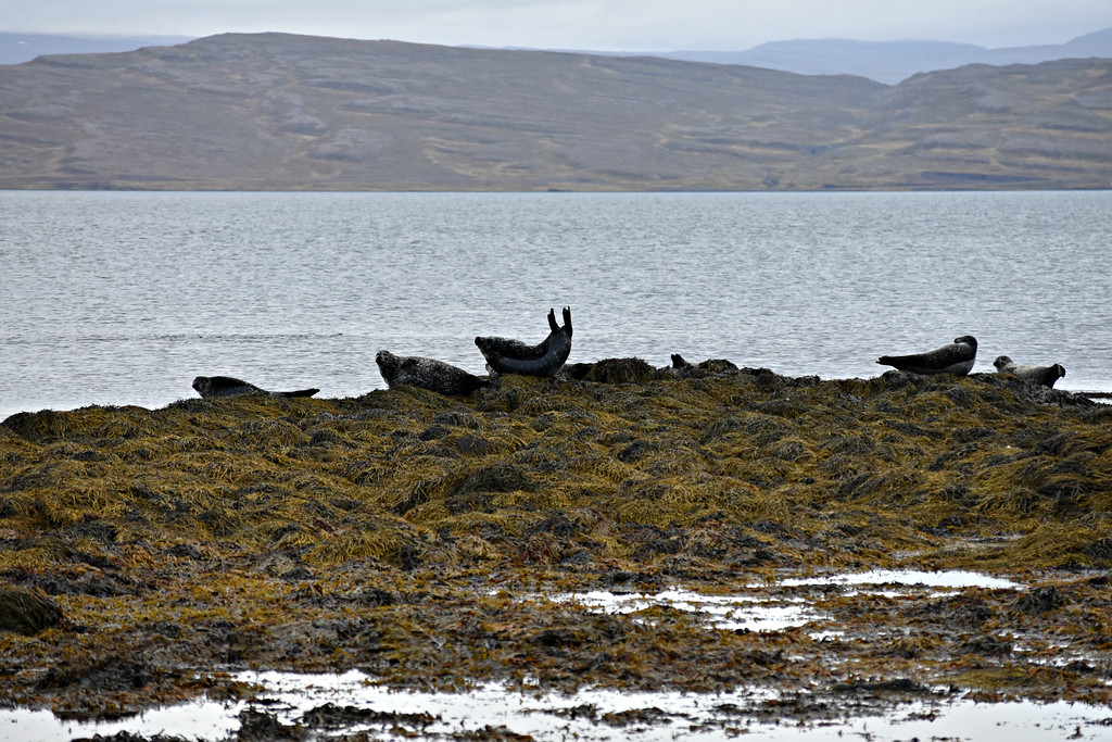 Seals in the West Fjords, Iceland