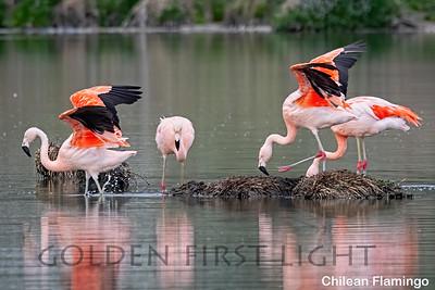 Chilean Flamingo, Laguna Nimez Bird Sanctuary, Argentina