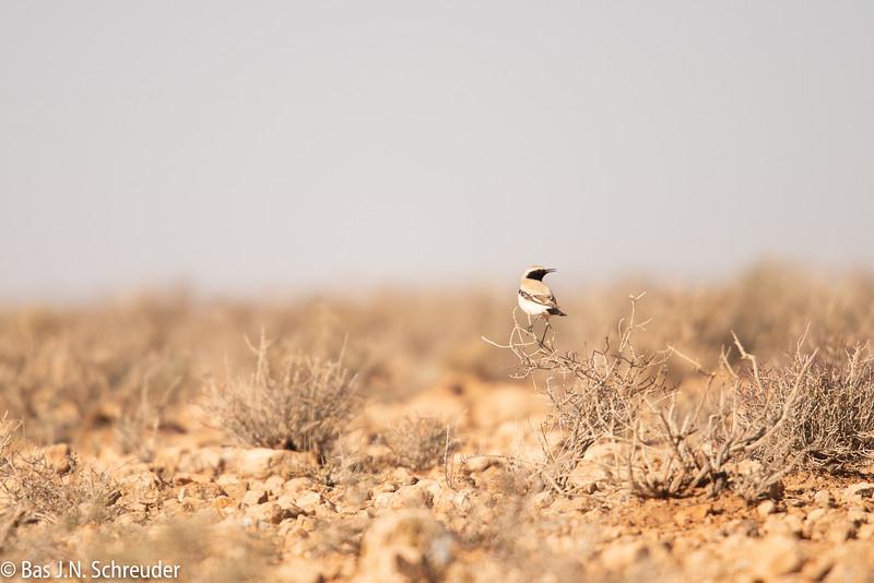 Woestijntapuit (1 van 1).jpg