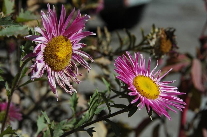 Purple Flowers - Osh to Sary Tash, Kyrgyzstan