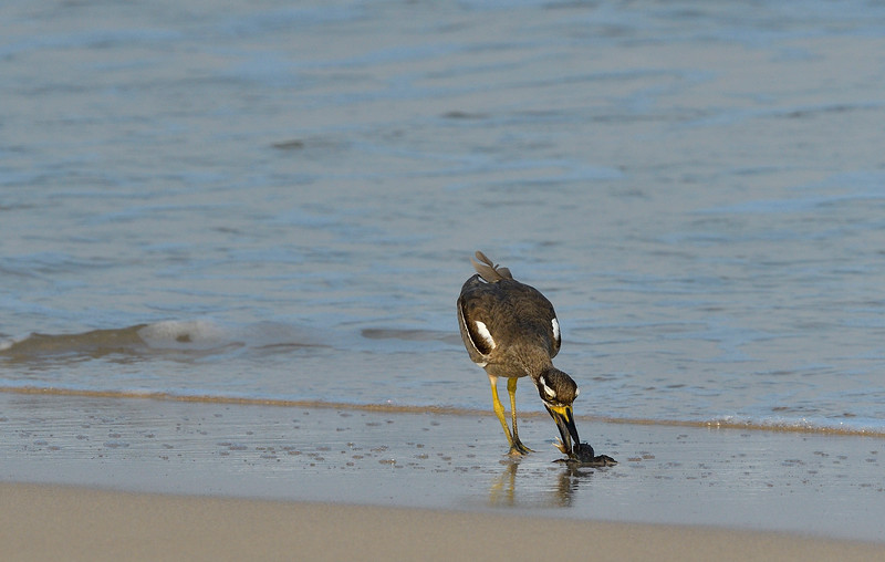 Beach-Thick-knee-with-crab-little-andaman-4.jpg