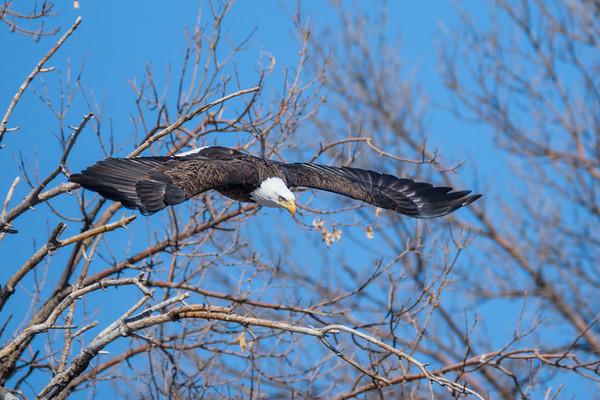 City Park Eagle