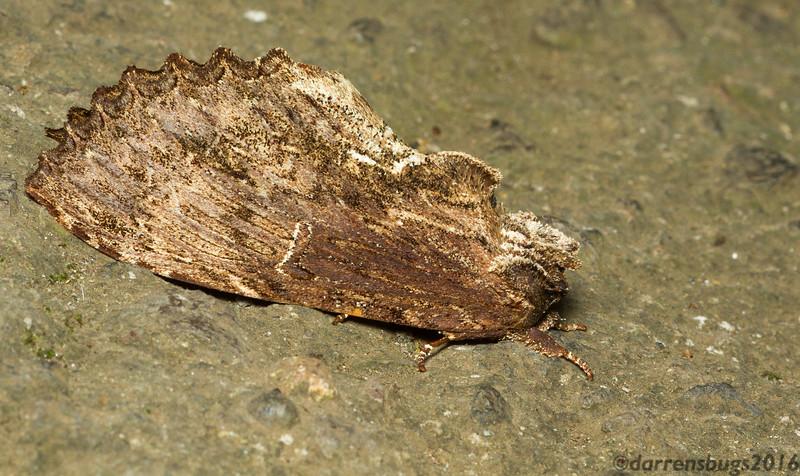 Cryptic moth (Bombycidae: Naprepa houla) from Costa Rica.