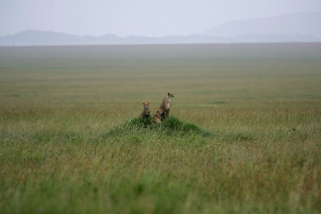 . A Cheetah family sits on a knoll of the Serengeti grasslands in Serengeti National Park, Tanzania, Africa.