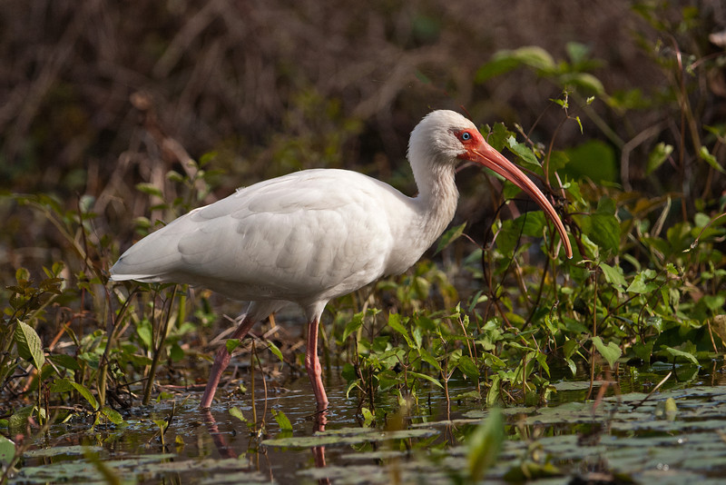 Ibis - White - Wakulla Springs State Park, FL - 04