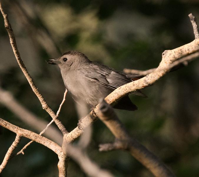 Gray Catbird Lee Vining 2020 07 25-8.CR2