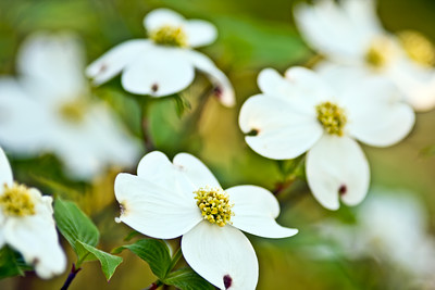 Dogwood in Bloom