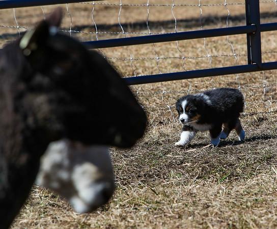 Cristy Cummings/Artemis Herding Test