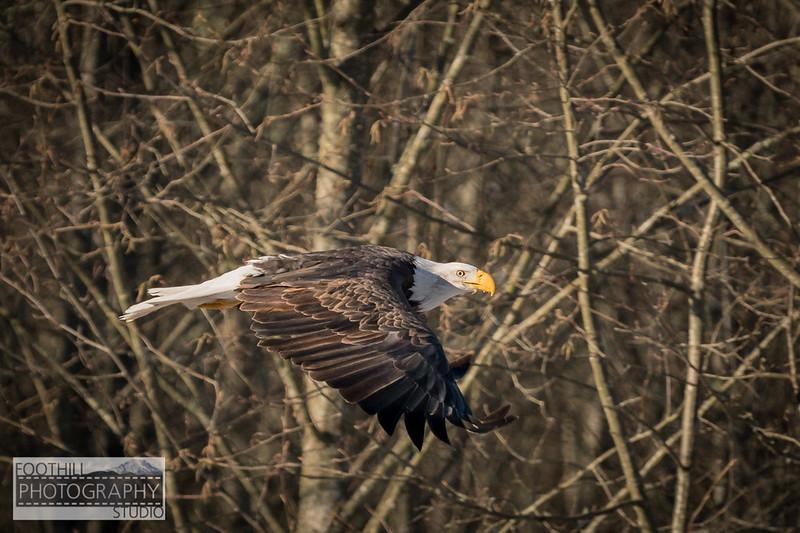 Eagle Sml-5.jpg