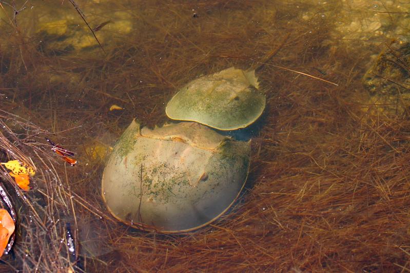 Atlantic Horseshoe Crab (Limulus polyphemus)