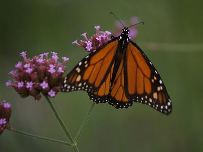 NC Butterflies on Flowers, & a Few Stray Plants