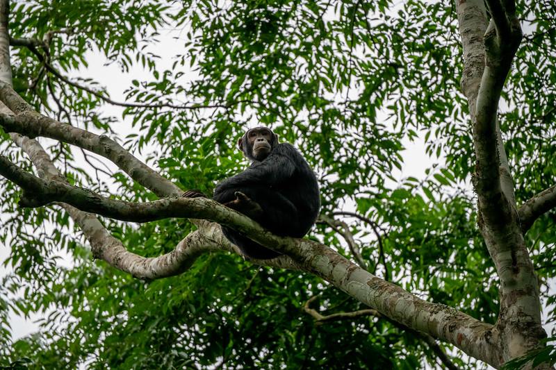 Uganda_T_Chimps-894.jpg