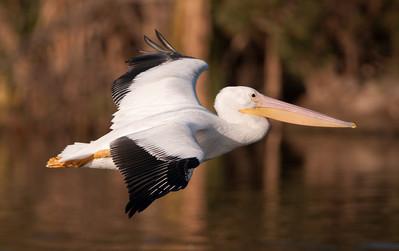 American White Pelican Rescue (<em>Pelecanus erythrorhynchos</em>)