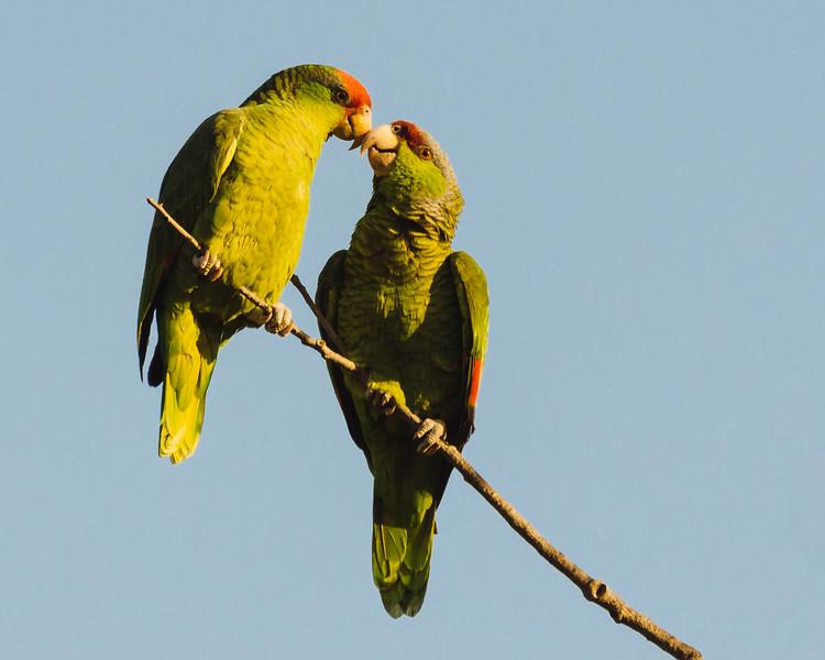 Parrots2014Jan-9588.jpg