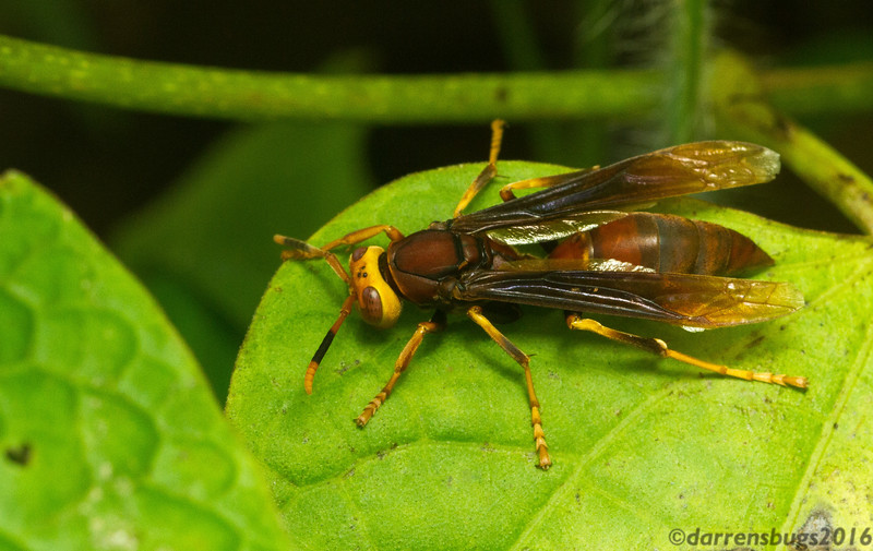 A sizable and lovely paper wasp (Polistes sp.) from Panama.