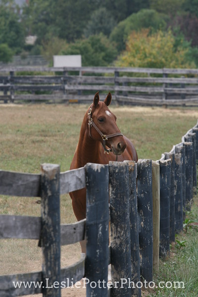 Saddlebred Horse Standing by the Fence