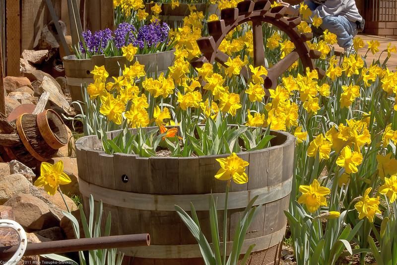 Daffodil Hill