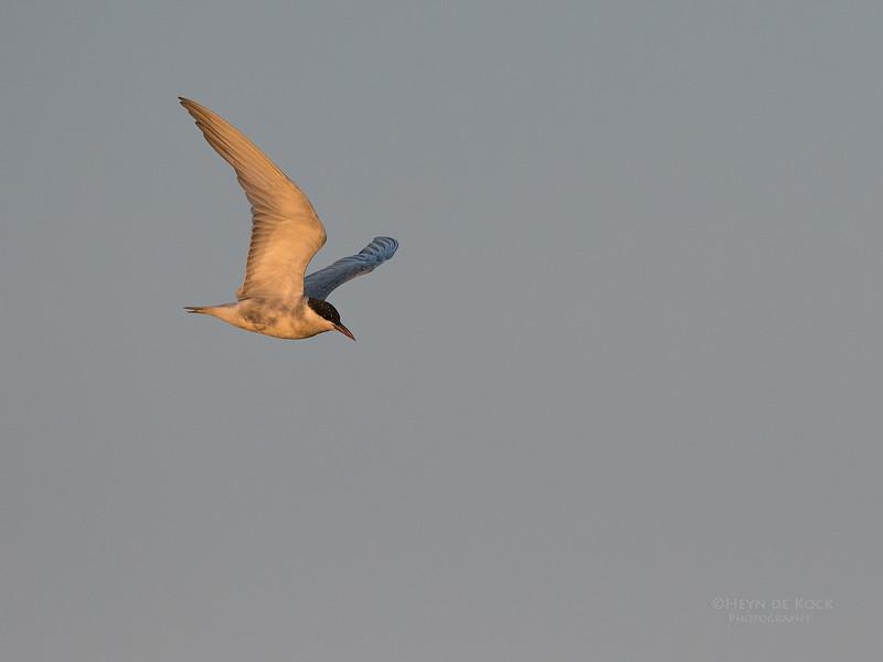 Whiskered Tern, Chobe River, NAM, Oct 2016-1.jpg