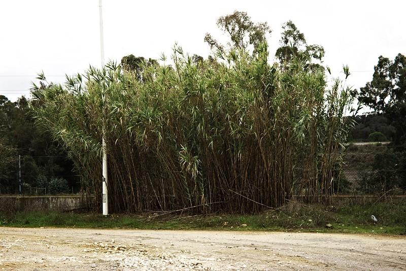 Na benzínové stanici kus za Grandolou. Pro nás je bambus celkem exotickou rostlinou. Pro Portugalce je to víceméně plevel...