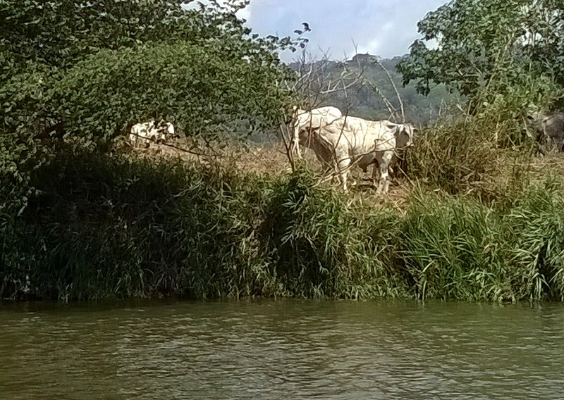 Cattle graze along the river as well. Not of interest to the crocodiles as the cattle are too large.