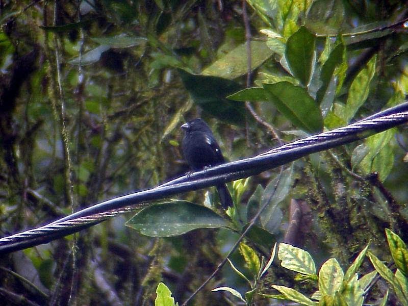 Variable Seedeater male at El Gavilan Lodge Costa Rica 2-11-03 (50898322)