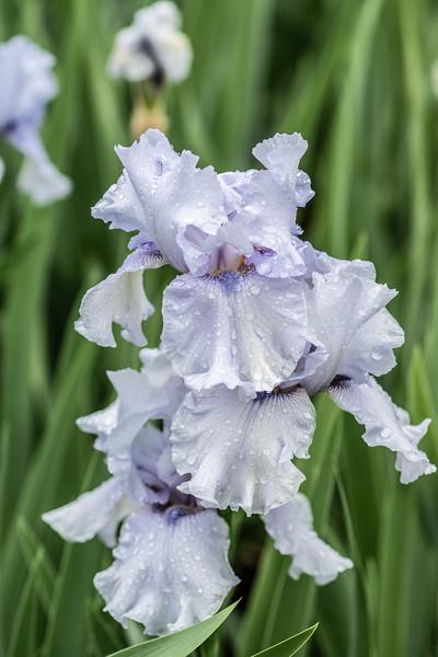 Arboretum Flower Iris-06278.JPG