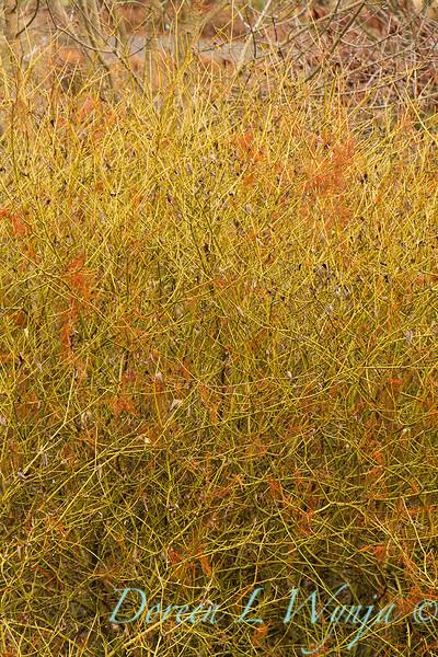 Cornus sericea Flaviramea_046.jpg
