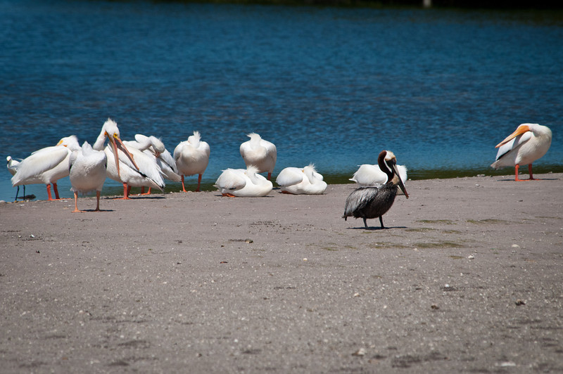 One Brown Pelican and several White Pelicans