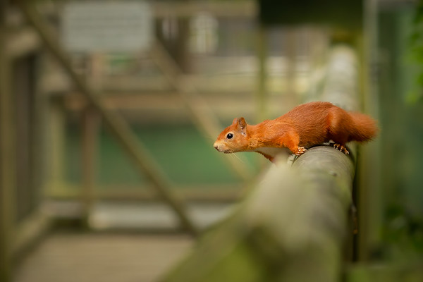 2020 - Red Squirrel 004