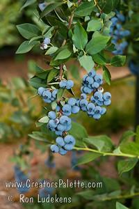 Elliott Blueberries (Vaccinium corymbosum x)