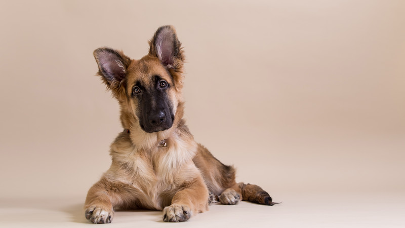 german shepherd puppy lying on taupe background