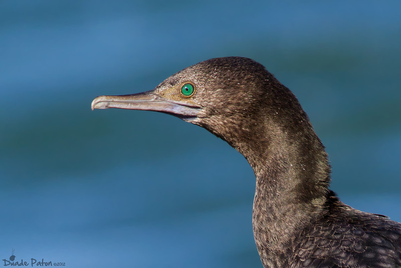 Little-black Cormorant
