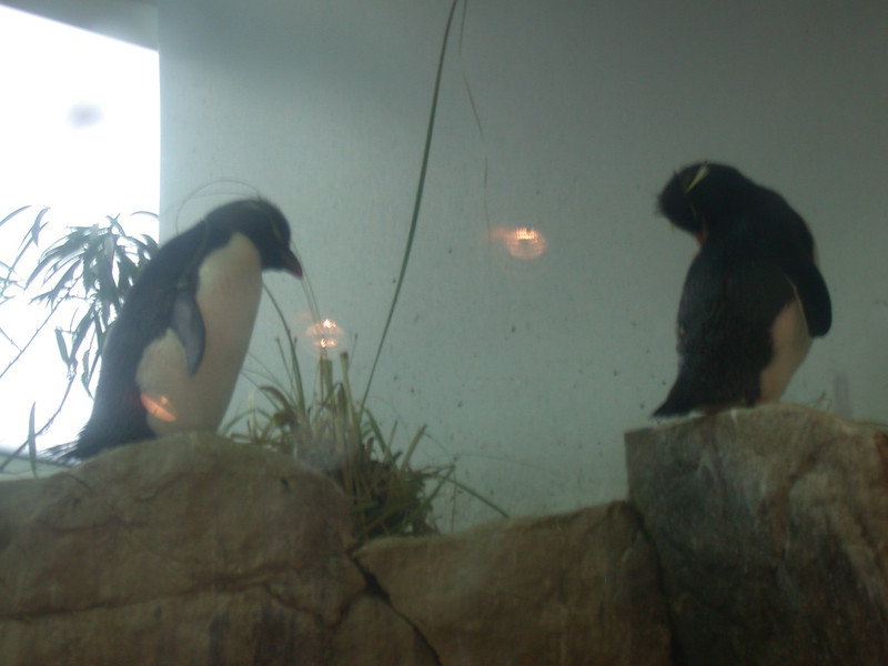 african penguins (didn't know there was such a thing)