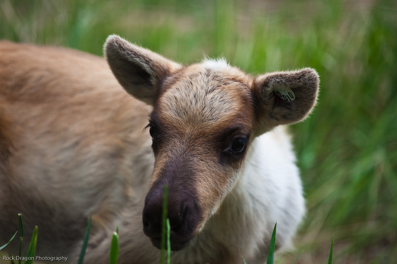 Baby moose, Calgary Zoo, June 22
