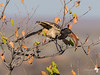 Monteiro's hornbill in a tree