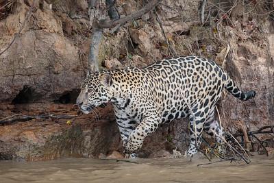 jaguar on the hunt