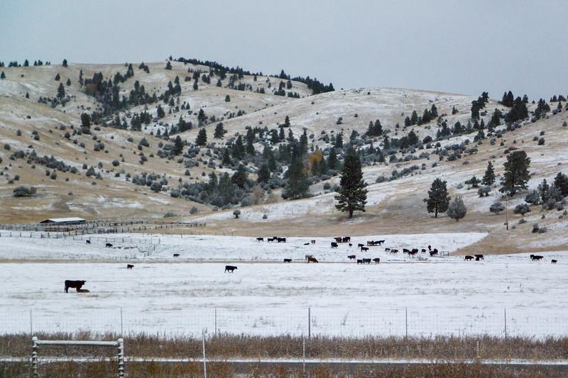 Montana Fall Cows