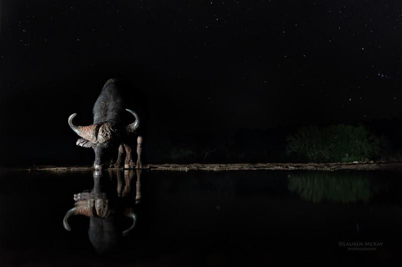 African Buffalo, Zimanga, South Africa, May 2017-1.jpg
