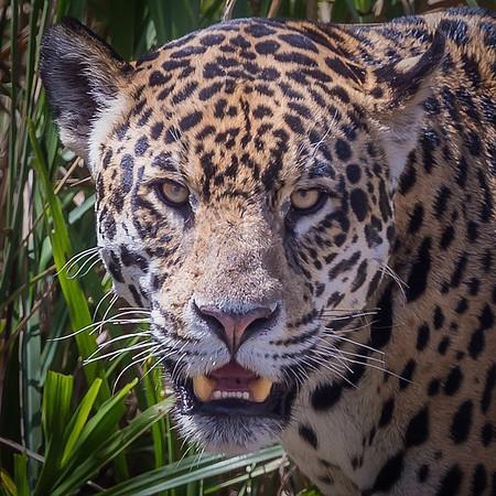 Pantanal...Jaguars, Caimans and More