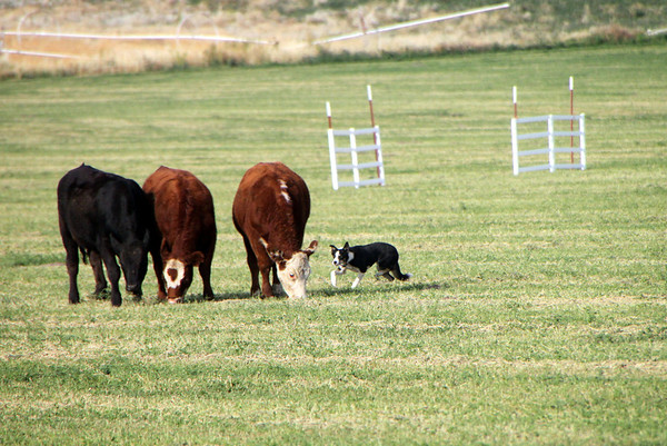 Cow Dog Demo and Klamath Area