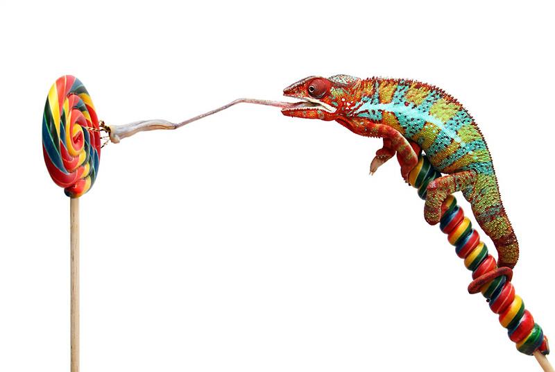 Sweet Chameleon.jpg