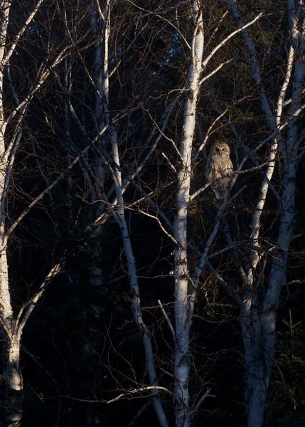 Barred Owl Peary Road near Yellow-bellied Bog Sax-Zim Bog MN IMG_5653.jpg