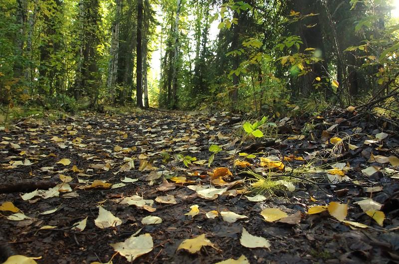 Birch and aspen leaves starting to litter the floor